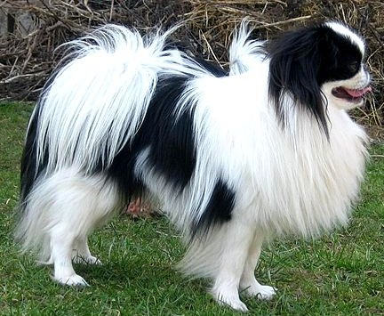 A beautiful shot of a gentle Japanese Chin standing in the grass.