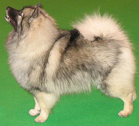 A Keeshond featured against a green background.