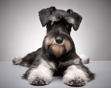 A beautiful salt and pepper Miniature Schnauzer is sitting on a grey floor looking right at the camera.