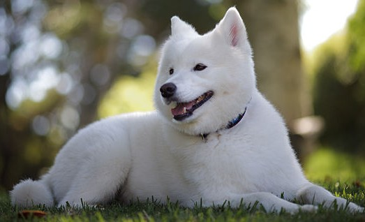 A well groomed Samoyed is seen resting on the grass.