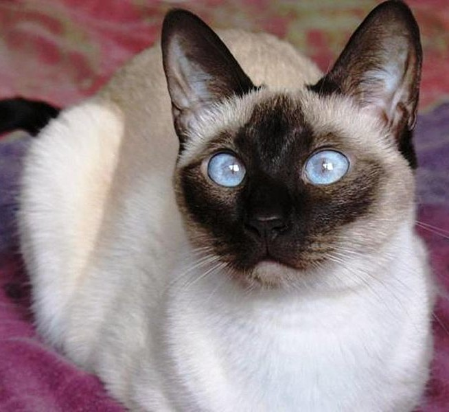 A beautiful Chocolate Point Siamese cat resting on a magenta colored towel.