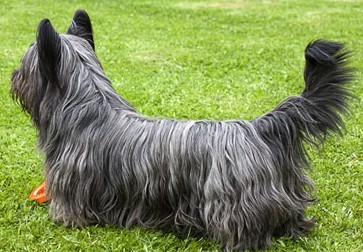 A Skye Terrier staring at someone while standing on grass.