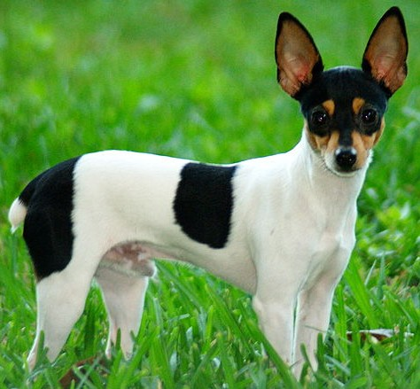 A Toy Fox Terrier looks real large in a grass yard.