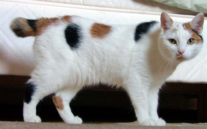A Calico colored like Manx Cat standing on the carpet.