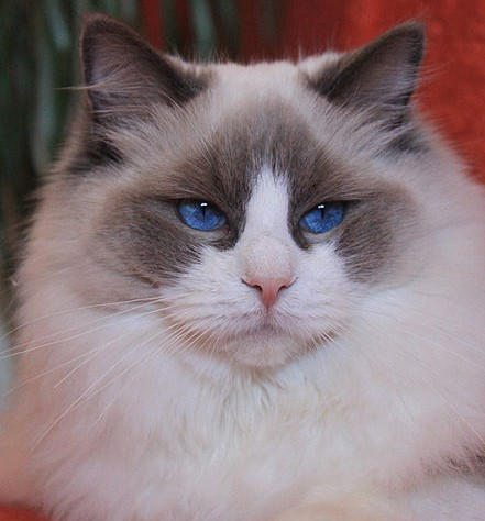 A resting Ragdoll cat with dark blue eyes.