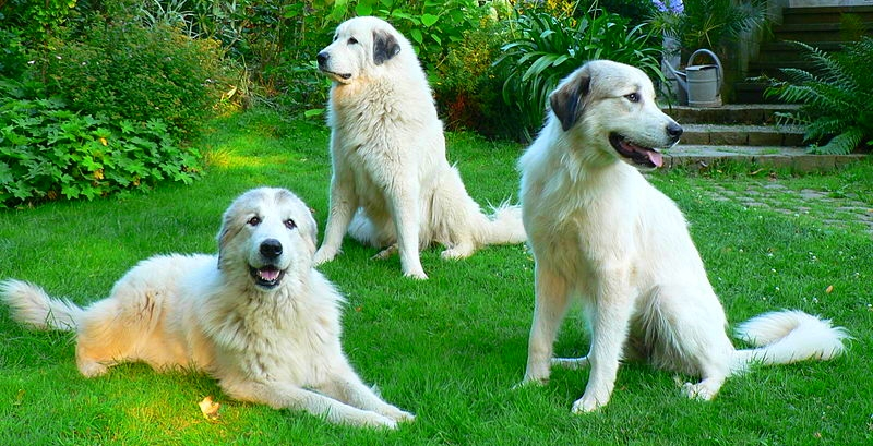 Three beautiful Great Pyrenees are posing on a lawn during summer.