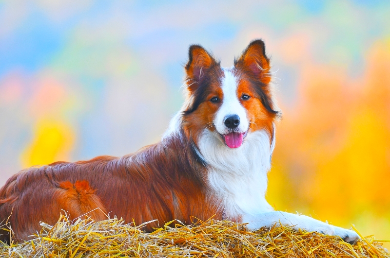 A beautiful brown and white Border Collie is facing the camera resting on a bed of straw against a multi- colored impressionistic background.
