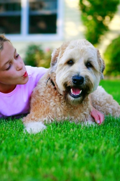 A tan Wheaton Terrier is lying on the grass with a young girl.