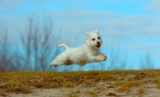 A West Highland Terrier is literally flying through the air over a field.