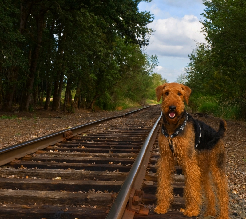An Airedale is standing next to a set of train tracks waiting for a ride to take him home.
