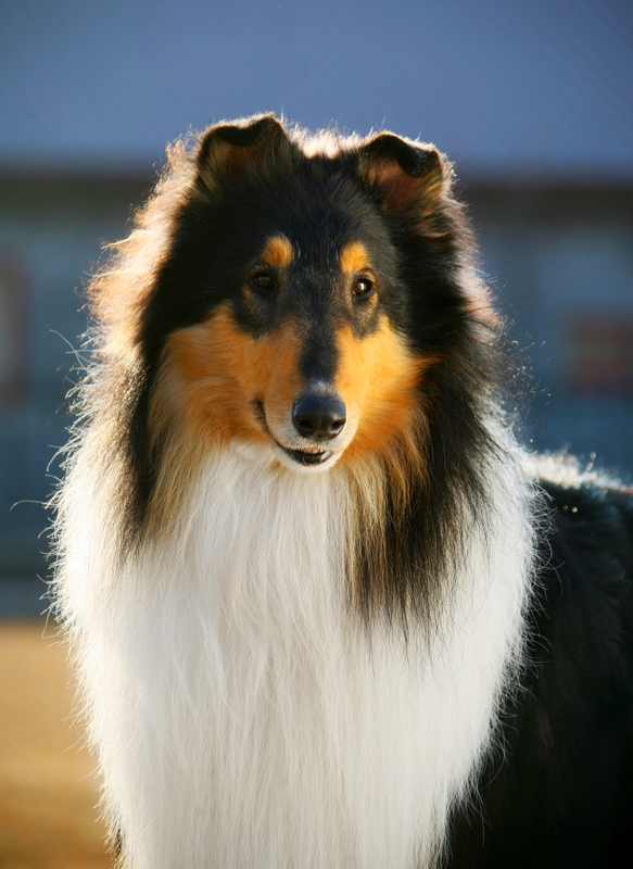 A beautifully groomed Collie dog is standing at attention against a dark background.