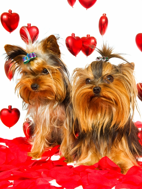 Two Yorkshire Terrier dogs are surrounded by floating red hearts and red paper hearts on the ground against a white background.