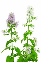 Violet and white flowers and leaves of the Catnip plant on a white background.