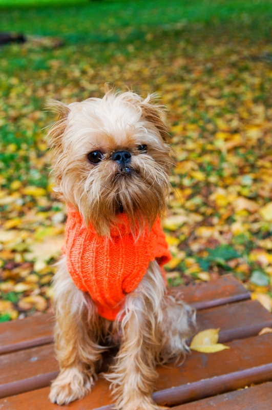 The Brussels Griffon is a toy breed with a big heart and a lot of spunk.