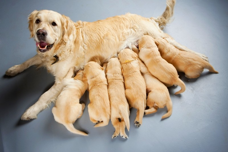A Labrador Retriever female is nursing her litter of 7 babies against a light blue background.