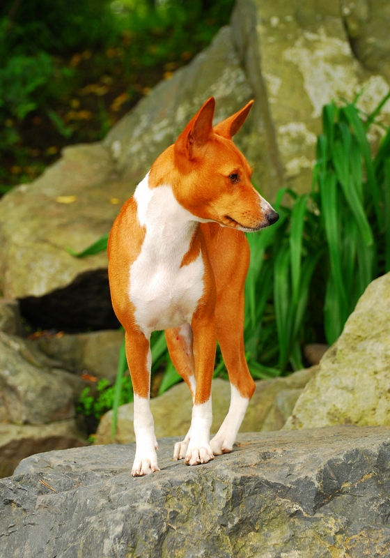 A tan and white Basenji dog standing on a large grey boulder amongst green lilly plants and other boulders in the background.