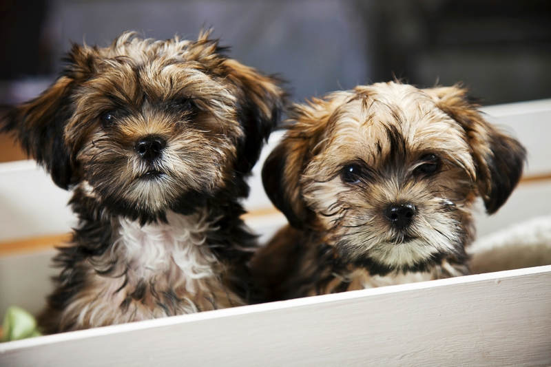 Two tan and white Shih-Tzu puppies are in a white whelping box looking at the camera.