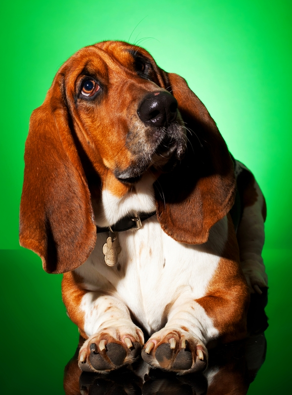 A Basset Hound is sitting being surrounded by a green background.