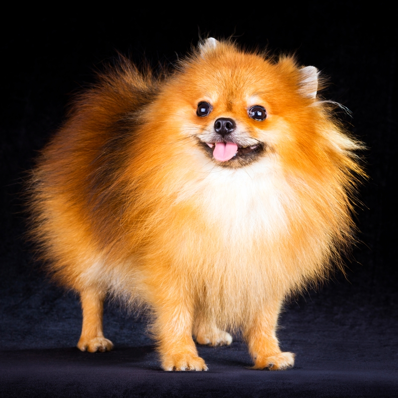 A perfectly groomed sable Pomeranian standing against a black background.