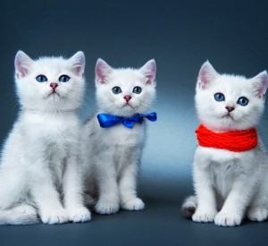 Three white kittens; one with a blue ribbon and the other with red bead around their necks against a blue/grey background.