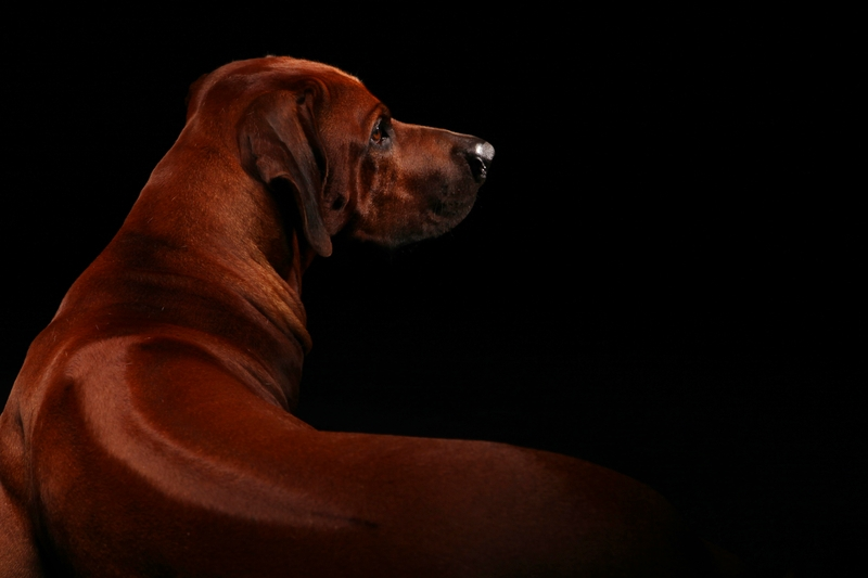 A beautiful Rhodesian Ridgeback is posing surrounded by a jet black background.