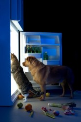 A Labrador Retriever and grey tiger striped cat peer into a opened refrigerator with vegetables and fruits scattered on the kitchen floor.