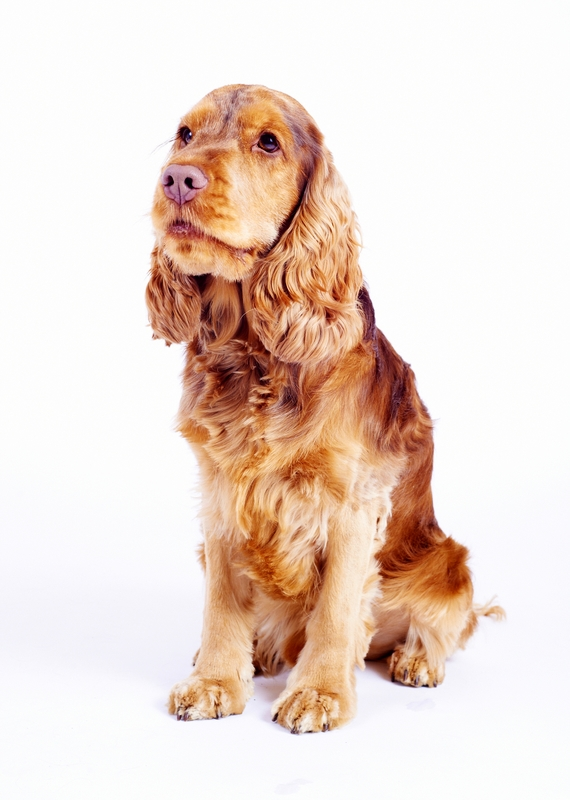 A buff colored Cocker Spaniel is sitting for the camera on a white background.