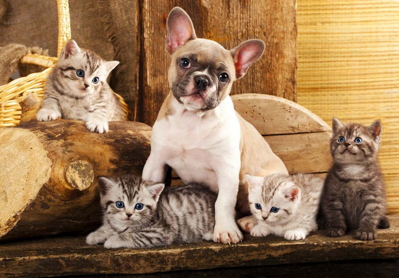 A tan and white French Bulldog is sitting on a wooden bench surrounded by 4 light tiger striped kittens on a tan wooden wall background.