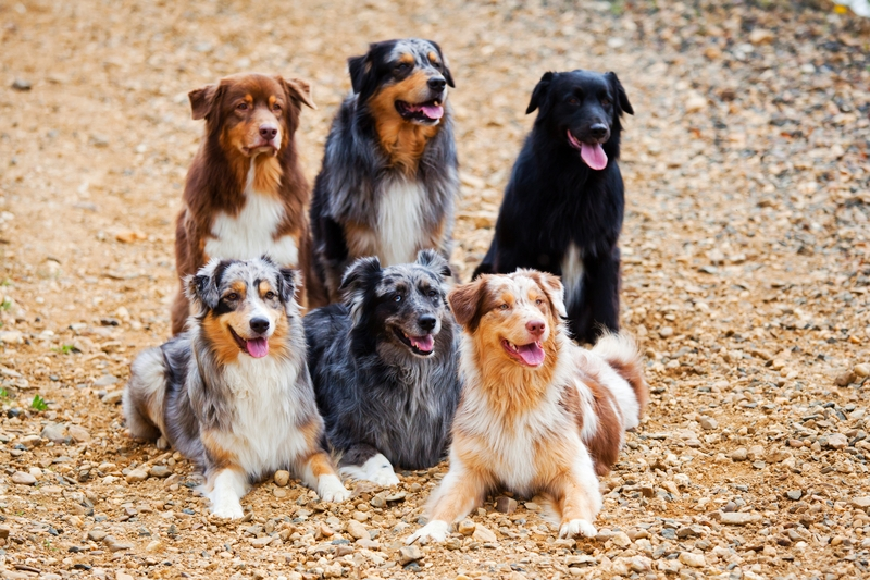 Six different looking Australian Shepherds posing together on a gravel road. Each Australian Shepherd has a different coat color.