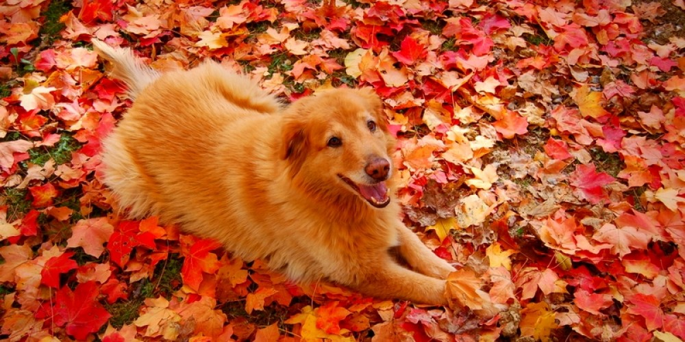 A Golden Retriever and Autumn Color