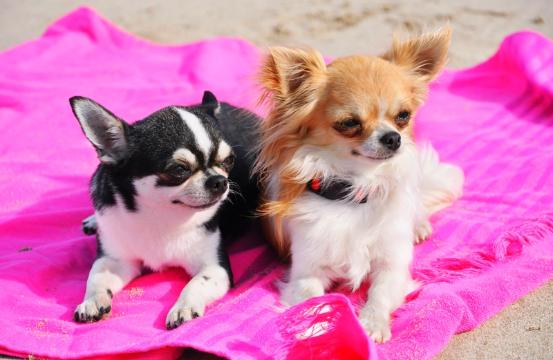 A black and white short-hair and a tan and white long-haired Chihuahua both resting on a pink blanket at the beach.