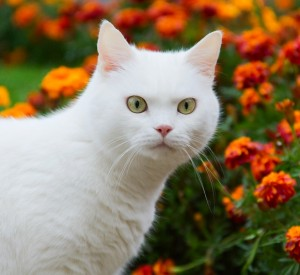 A white cat is posing in front of a huge patch of marigold flowers on a summer day.