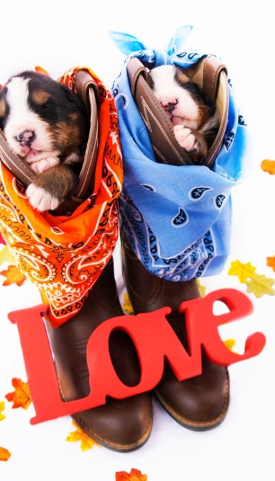 Two tan and white pups are each stuffed into a brown pair of cowboy boots and protected from the leather by a orange and blue bandana plus colored leaves on the ground.