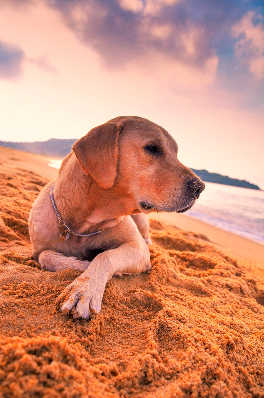 A yellow Labrador Retriever is resting on the sand while overlooking the water at the beach.
