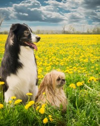 A black and white border collie and buff colored lhasa apso sit in the foreground of a field of dandelions.