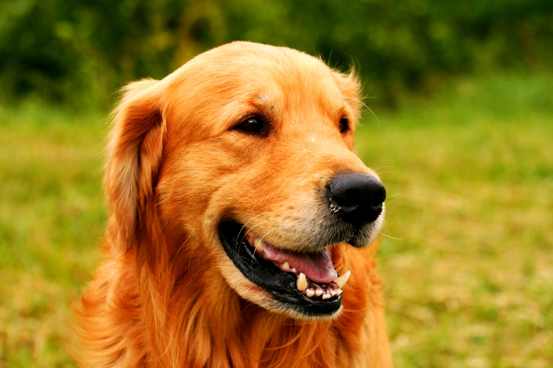 A beautiful female Golden Retriever is enjoying a nice summer afternoon in a grassy field.
