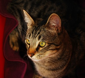 A grey tiger striped tabby is comfortably wrapped up in a maroon towel.