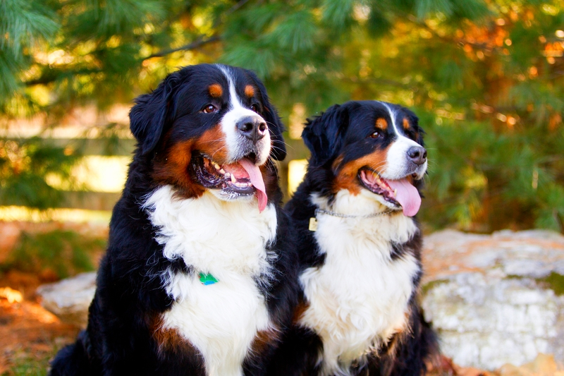 A male Bernese Mountain dog and a female Bernese Mountain dog are sitting together in a woodsy environment.