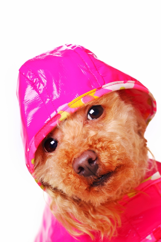 An Apricot colored Toy Poodle is dressed in a pink rain coat and hat with a white background.