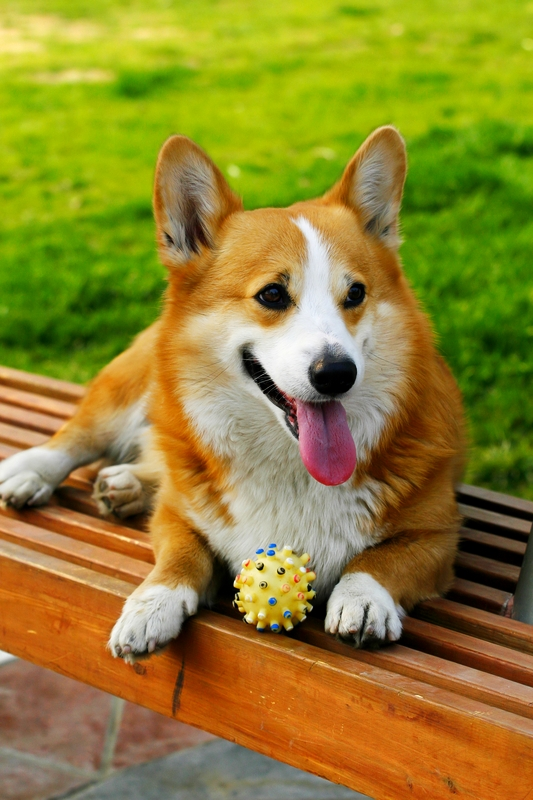 A tan and white Welsh Corgi is relaxing on a slatted wooden bench with its ball and tile surface below.