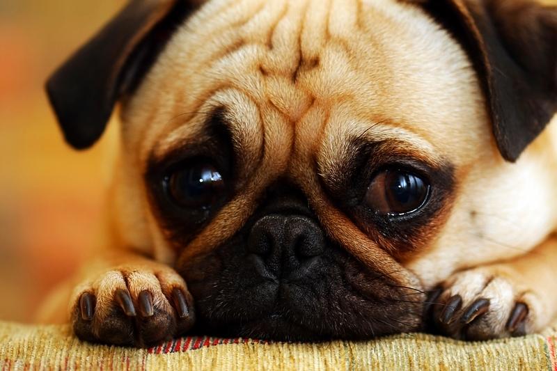 A closeup of a young Pug resting on a tan sofa.