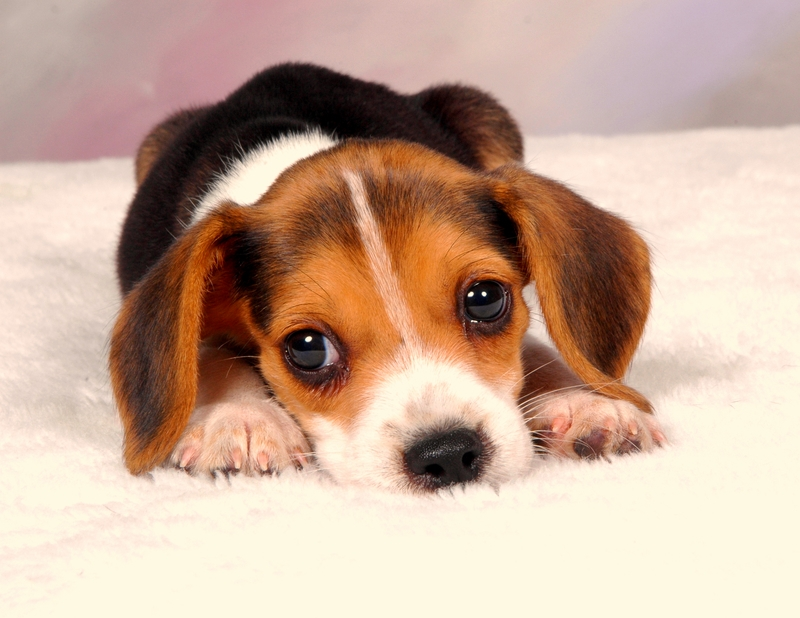 A young Beagle puppy with forlorn eyes is resting on a white blanket.