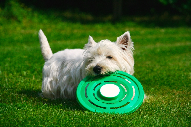 A young West Highland Terrier running with a lime turquoise colored frisbee in its mouth on a grass lawn.