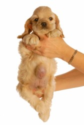 A woman is holding up a young Cocker Spaniel puppy with an umbilical hernia that need to be surgically repaired against a white background.