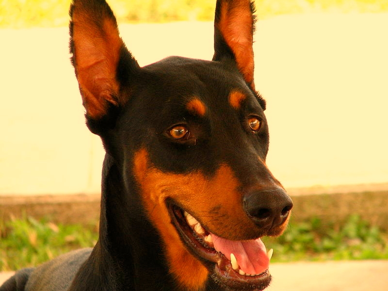 A closeup of a young Doberman Pinscher standing in a field.