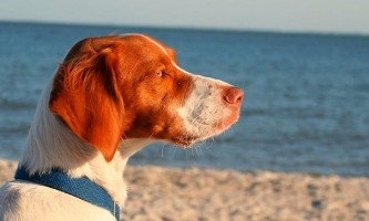 A Brittany Spaniel stares intently ahead while enjoying a summer day by the water.