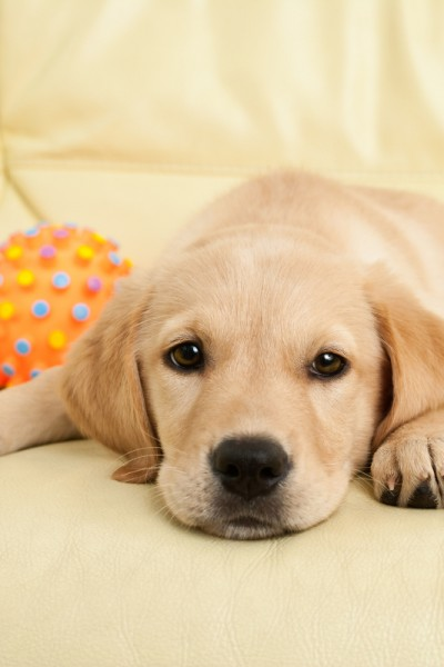 A young yellow labrador puppy is resting on a yellow tinged leather sofa with a orange rubber ball to its side.