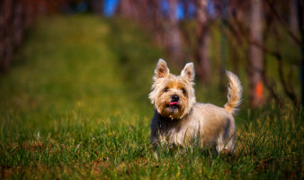 Oscar, a middle aged Cairn Terrier, is seen enjoying a beautiful Virginia day in the grape vineyard.