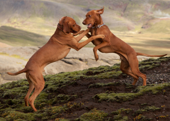 A pair of adult Vizslas are playing on some rough looking terrain in the mountains.