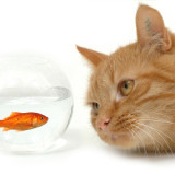 A buff colored striped tabby is staring intently at a goldfish in a small fish bowl.